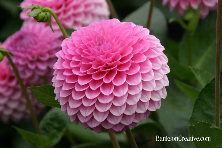 Dahlias bankson creative san francisco conservatory of flowers dahlia pink globe mightylinksfo